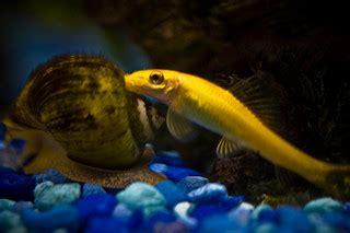algae eaters  freshwater aquariums clubfauna