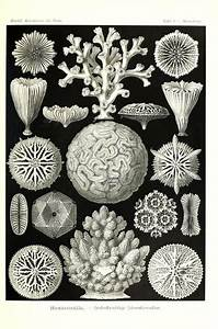 The gallery for --> Coral Scientific Illustration