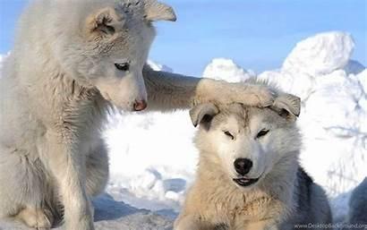 Husky Snow Puppies Siberian Wallpapers Background Desktop