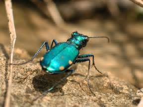 Green Colored Beetle