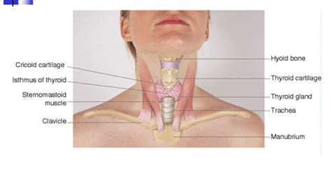 parathyroid glands located anatomy organ pictures best collection location of