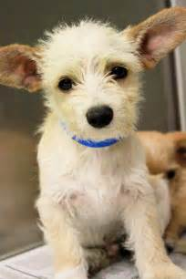 Chihuahua Terrier Mix Puppies for Adoption