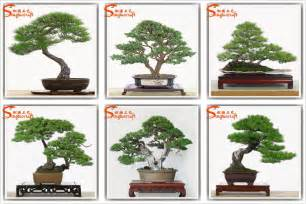 indoor ancient style potted pine tree mini bonsai tree sale buy potted pine tree bonsai tree