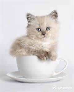 Teacup Ragdoll Cats Kittens