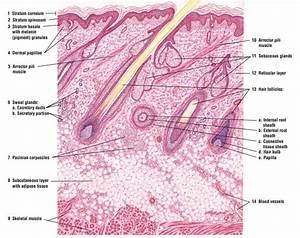 Skin Anatomy And Wound Healing - Dermatology