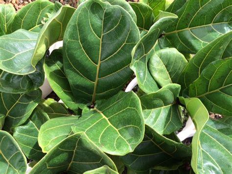 Fiddle Leaf Fig) 200mm Pot