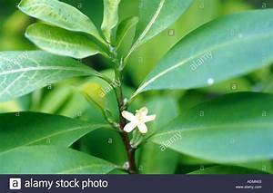 Erythroxylum Coca Stock Photos & Erythroxylum Coca Stock ...