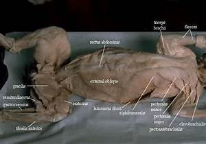 Cat Dissection Leg Muscles Labeled