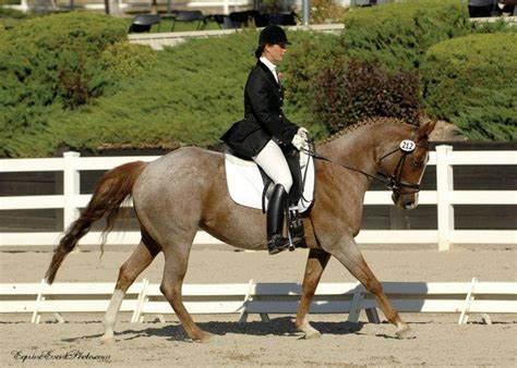 dressage horse quarter breeds