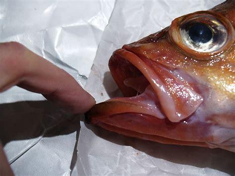 naehrwerte des folgenden fisches rotbarsch goldbarsch