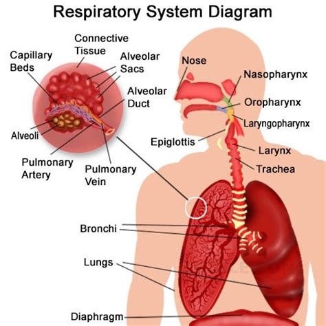 Image result for the organs of the respiratory system