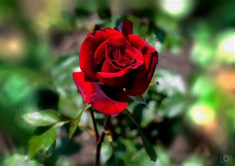 beautiful red rose background high quality  backgrounds