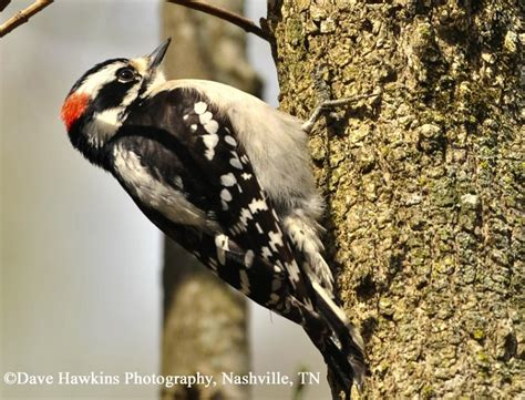 tennessee watchable wildlife downy woodpecker habitat