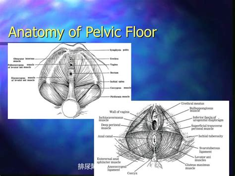 Muscles Of The Pelvic Floor Ppt by Ppt The Spastic Sphincter Powerpoint Presentation Id