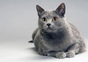 gatto da appartamento razza gatti da appartamento esiste una razza ideale