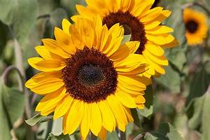Free pictures HELIANTHUS ANNUUS - 32 images found