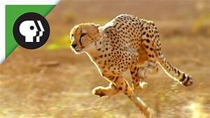 Did the American Cheetah Make the Pronghorn Fast? - YouTube