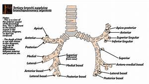 Bronchial Diagram