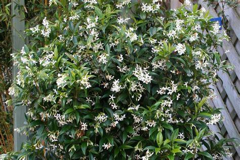 Trachelospermum Jasminoides (star Jasmine, Confederate