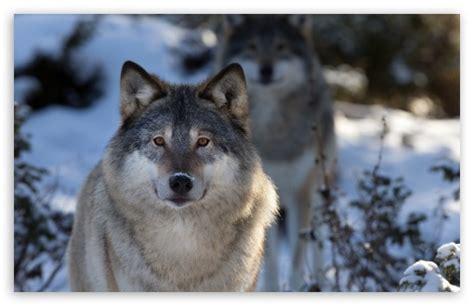 1080p Wolf Wallpaper Hd For Mobile by Wolves 4k Hd Desktop Wallpaper For 4k Ultra Hd Tv Tablet