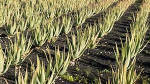 Aloe Vera Essbar : aloe vera gift auf dem teller ~ Buech-reservation.com Haus und Dekorationen