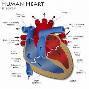 Hearts Age Differently In Men And Women