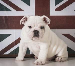 When Is a English Bulldog Fully Grown? | Dog Care - Daily ...