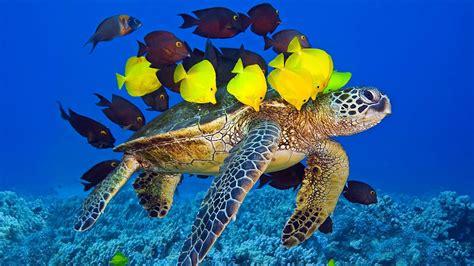 full hd wallpaper turtle escort fish underwater desktop