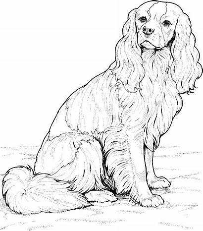 Coloring Pages Dog Spaniel Pound Breed King