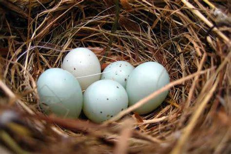 birds lay blue eggs discover wildlife