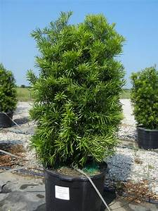 Japanese Yew 30 Gallon (Podocarpus) | exteriors ...