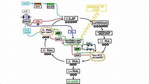 The Calvin Cycle  Light Independent Reactions In