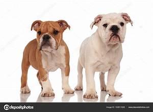 brown and white english bulldog puppies — Stock Photo ...