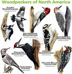 Woodpeckers of North America Flickr - Photo Sharing!