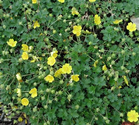 flower ground cover ground covers