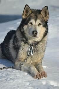 Alaskan Malamute Mix Wolf Hybrid