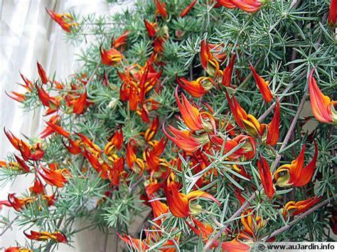 légumes à cuisiner bec de perroquet lotier de berthelot lotus berthelotii