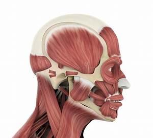 Nose Anatomy Stock Illustrations  U2013 3 063 Nose Anatomy