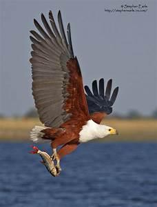 African Fish Eagle | A*N*I*M*A*L*S | Pinterest
