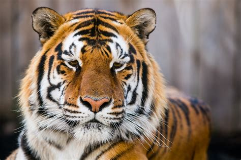 Tiger Animal Wallpaper - wallpaper tiger tiger closeup hd animals 2272