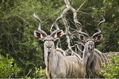 Kudu Antelope Horns Wallpapers Wallhere