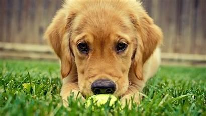 Retriever Golden Puppy Puppies Desktop Dog Labrador