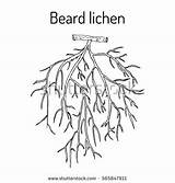 Coloring Usnea Lichens Barbata Lichen Moss Beard Tree Designlooter Botanical Drawn sketch template