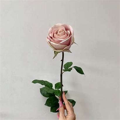 Rose Pink Flowers Flower Natural Popularity Resolutions