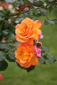 Garden Therapy: Roses are Love