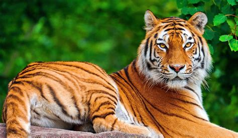 Bengal Tiger Awesome Wallpapers Ultra Hd 4k