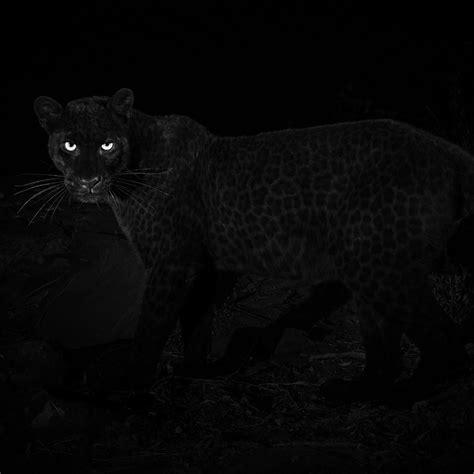 Rare Leopard Black Panther Spotted Kenya Bellanaija