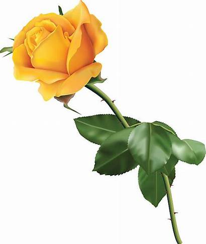 Rose Yellow Vector Illustrations Roses Clip Graphics