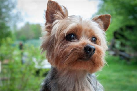 teacup yorkie shedding small dogs that don t shed