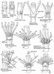 Bamboo Identification Guide  U2014 Guadua Bamboo